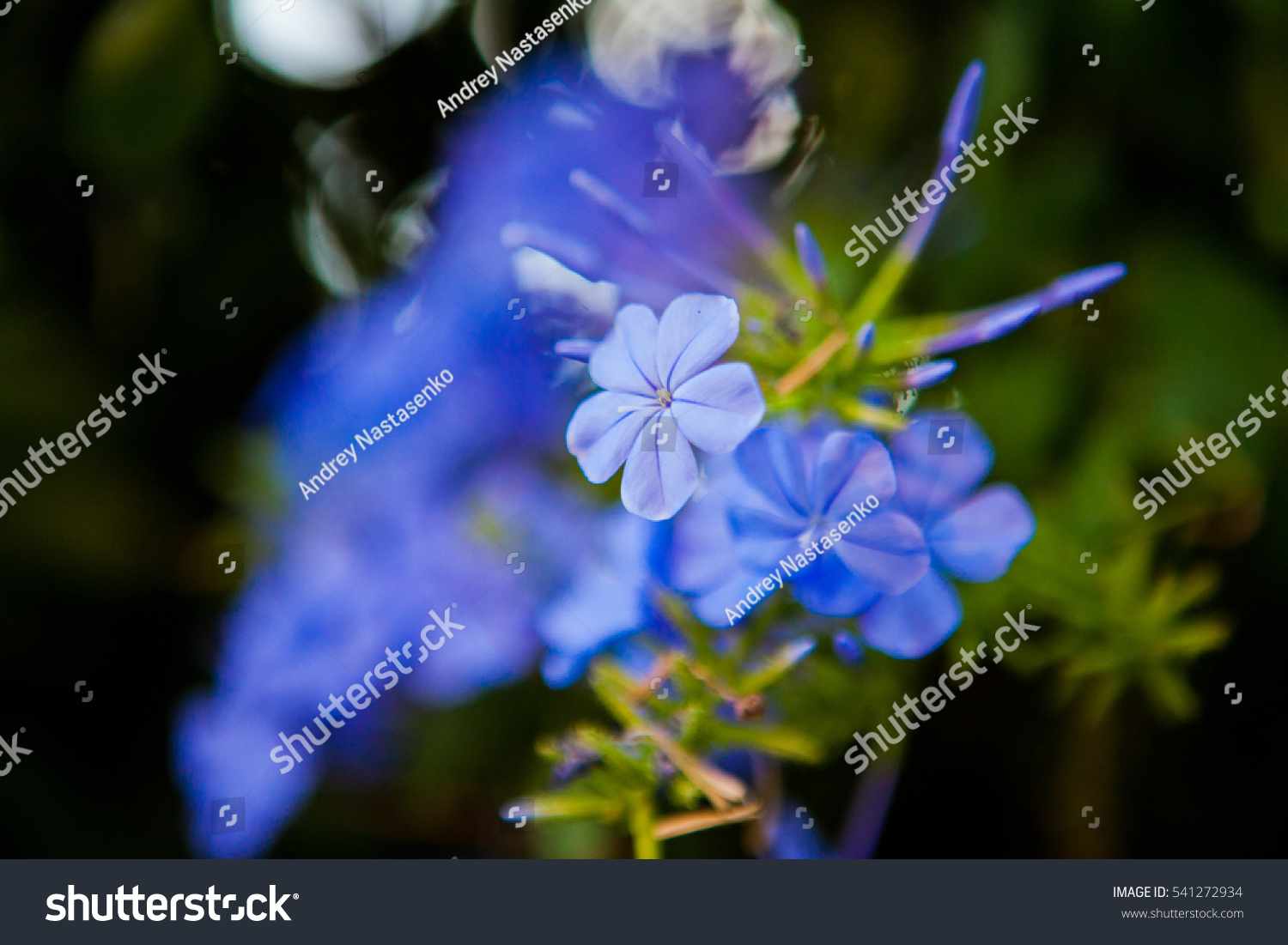 Closeup Tiny Blue Flowers Blooming On Stock Photo Royalty Free