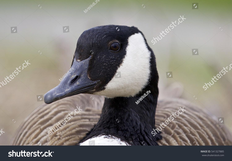 Beautiful background funny canada goose stock photo 541327885 beautiful background with a funny canada goose biocorpaavc