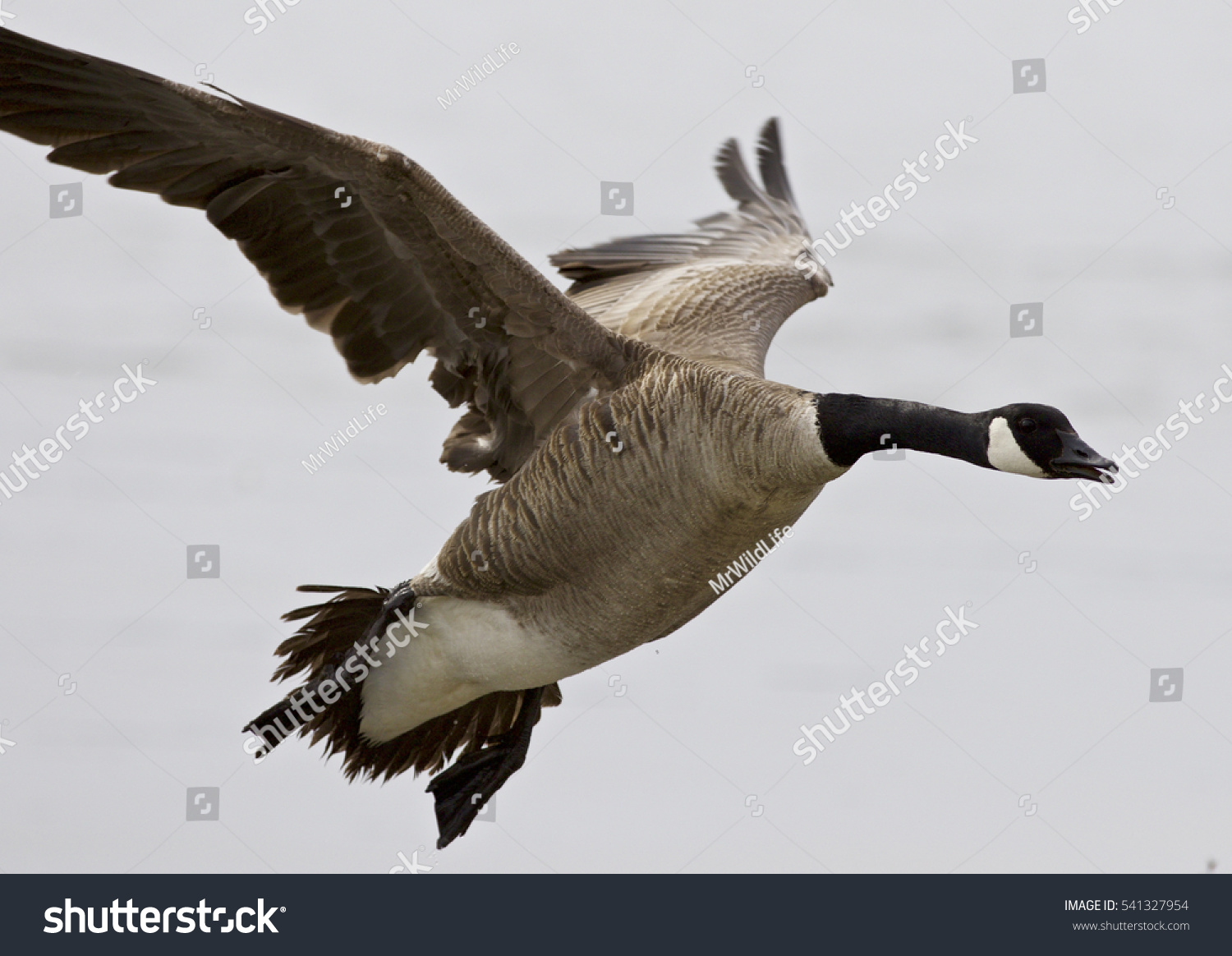 Beautiful isolated photo flying canada goose stock photo 541327954 beautiful isolated photo of a flying canada goose biocorpaavc Gallery