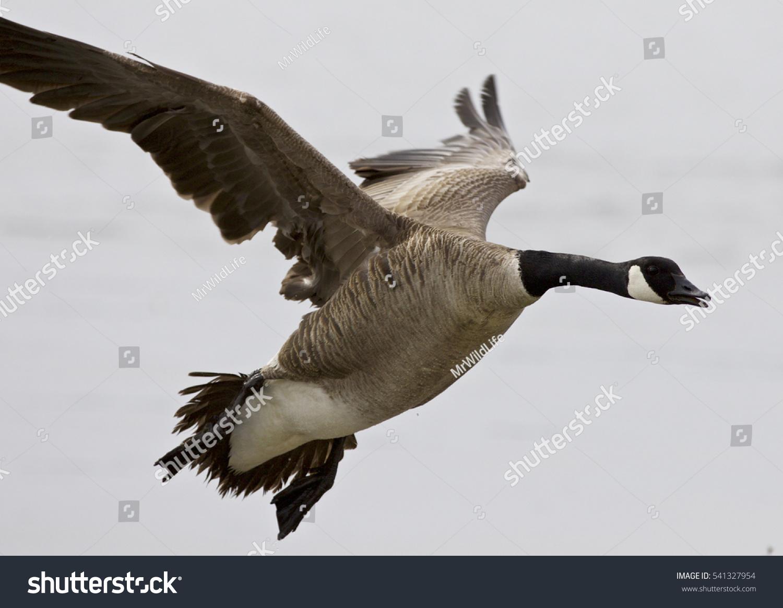 Beautiful isolated photo flying canada goose stock photo 541327954 beautiful isolated photo of a flying canada goose biocorpaavc