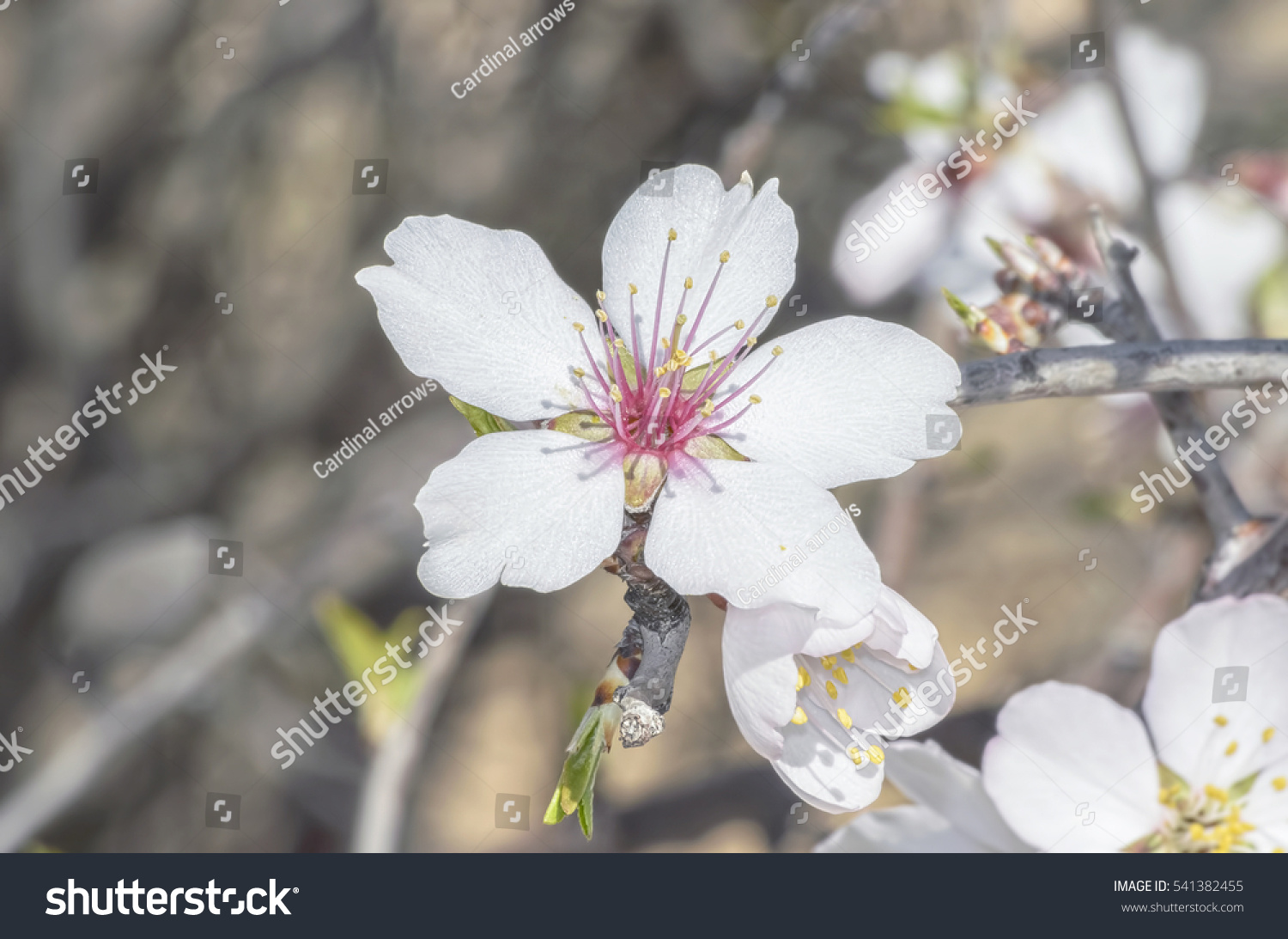 Prunus Dulcis Spring Background Blossom Of Almond Tree Beautiful