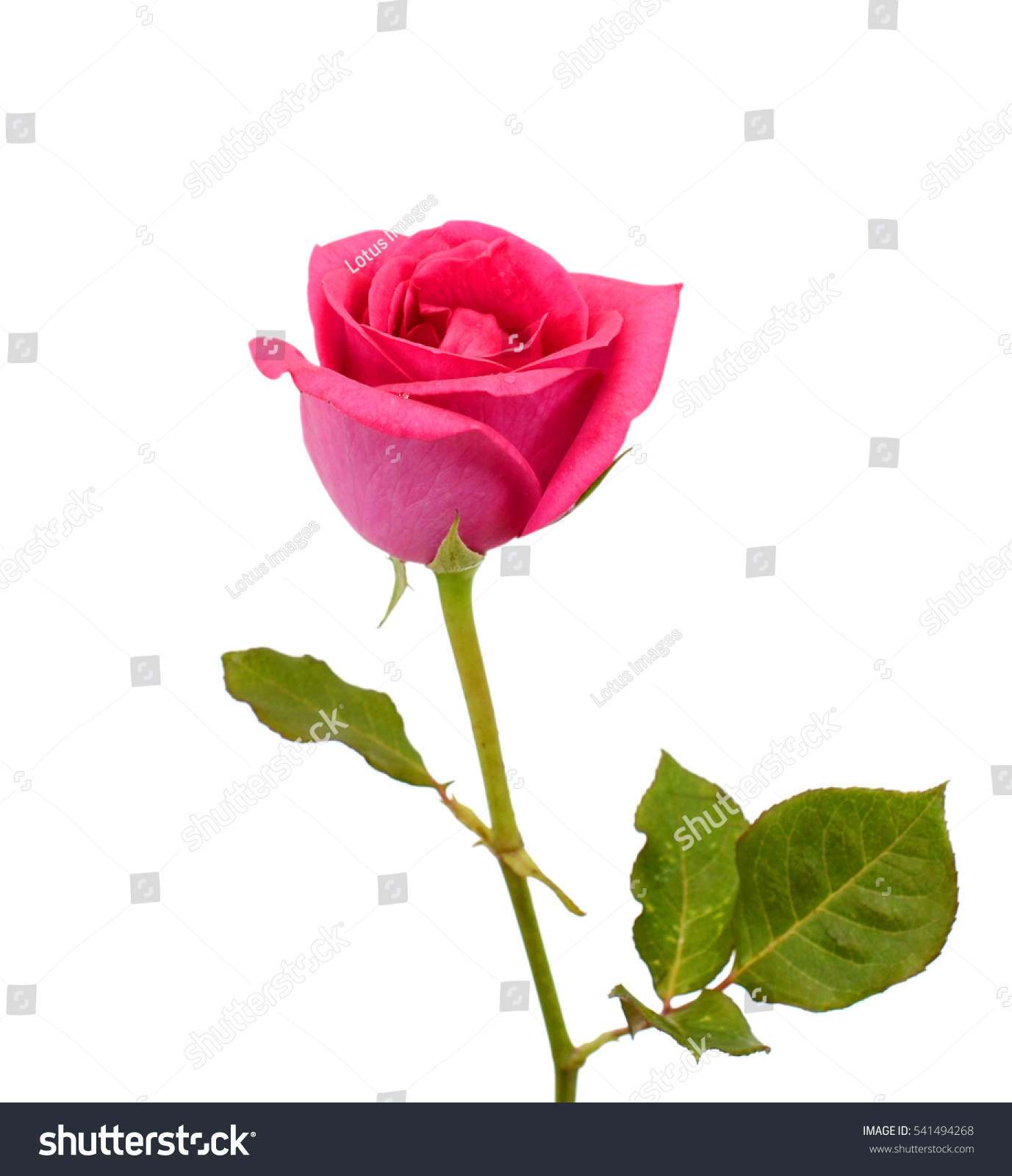 Beautiful Violet Rose Flower With Dew Isolated On White Background