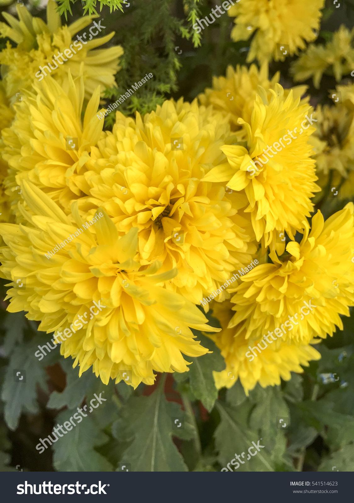 Beautiful Yellow Carnation Flower Natural Light Stock Photo Edit