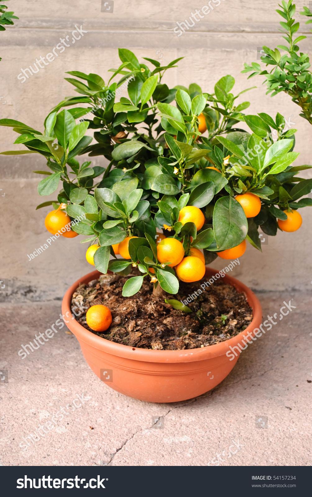 Клементин выращивание в домашних условиях 1