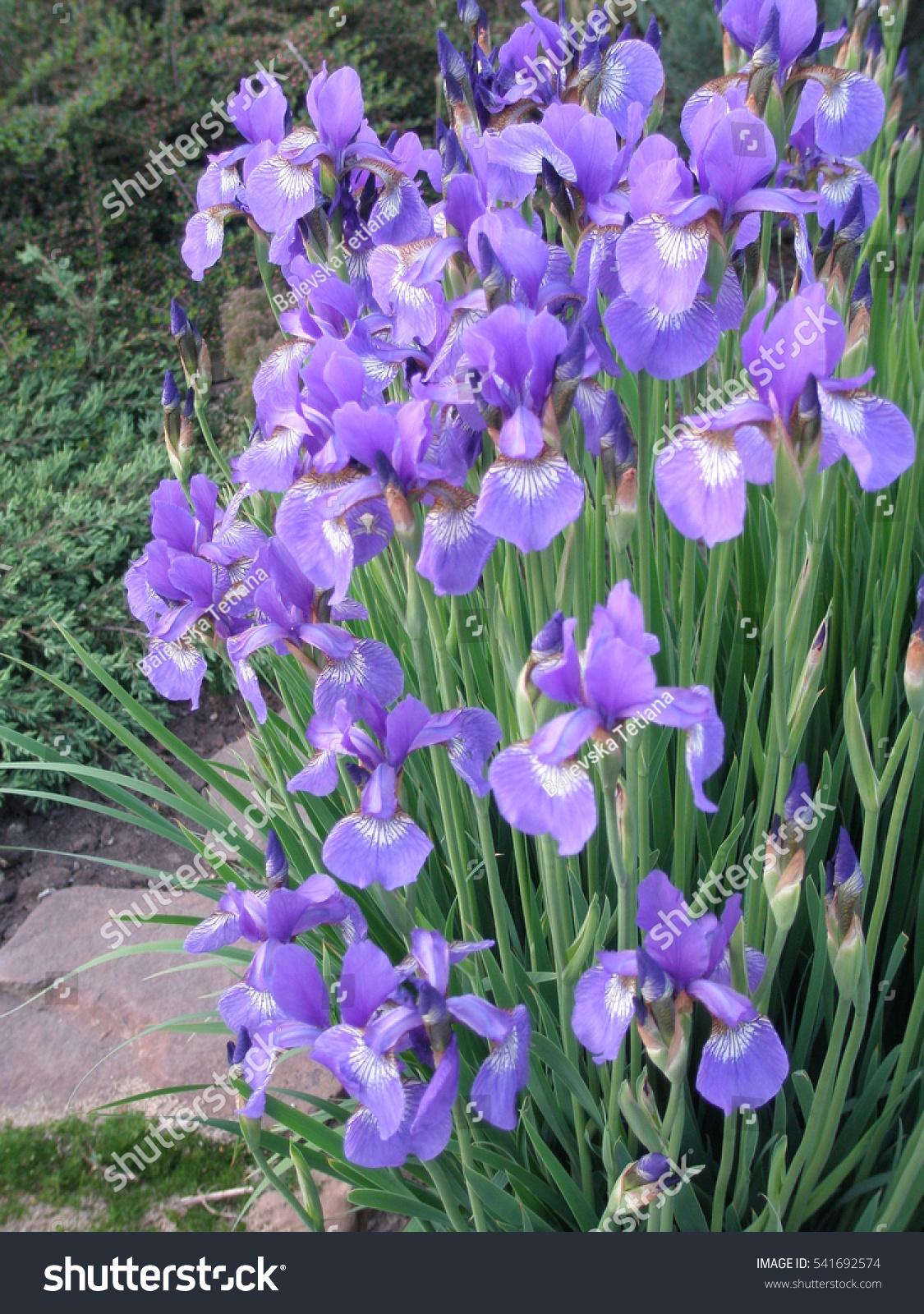 Beautiful Purple Iris Flowers Garden Stock Photo Edit Now