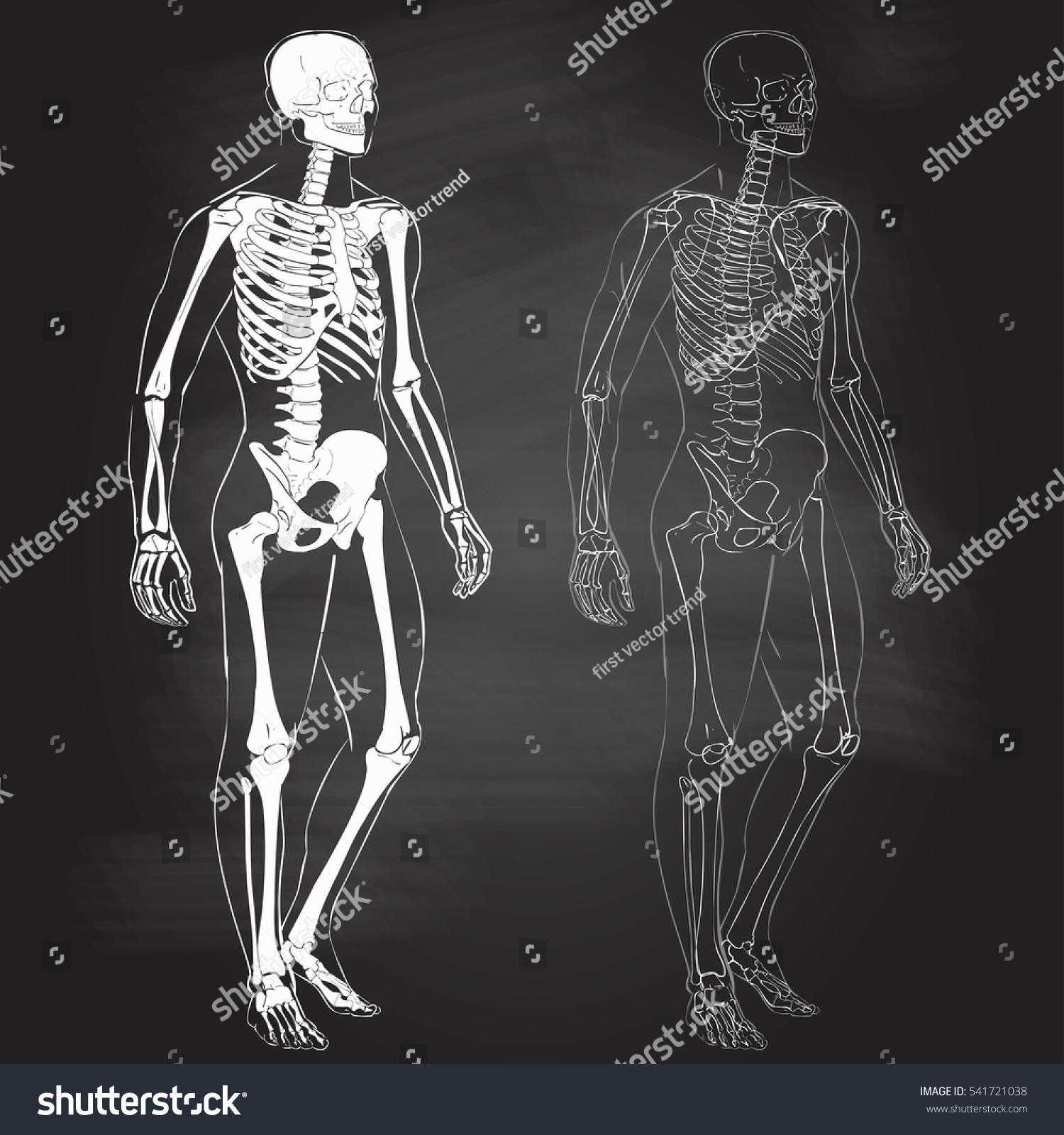 Human Body Parts Skeletal Man Anatomy Stock Vector Royalty Free