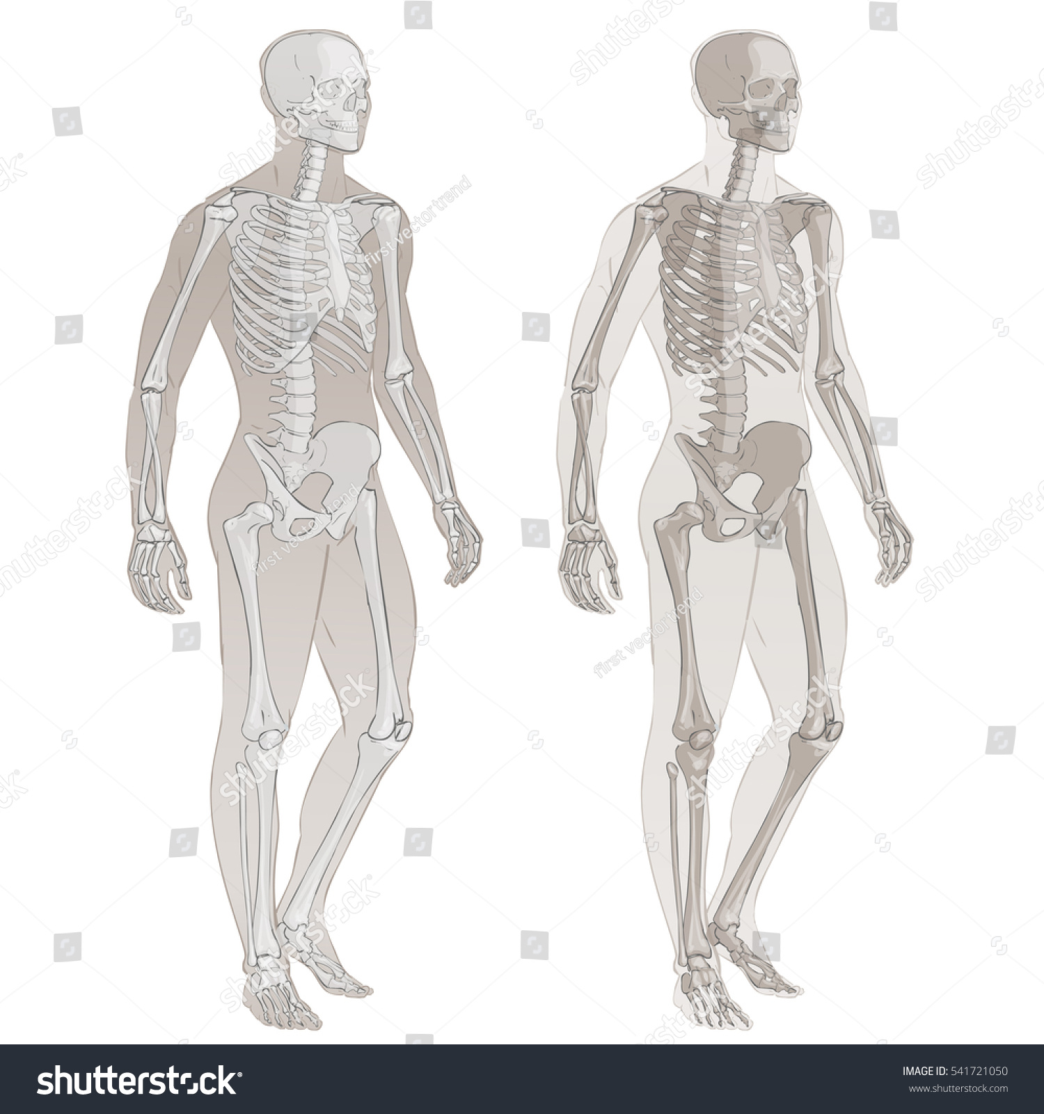 Human Body Parts Vector Skeletal System Stock Vector Royalty Free