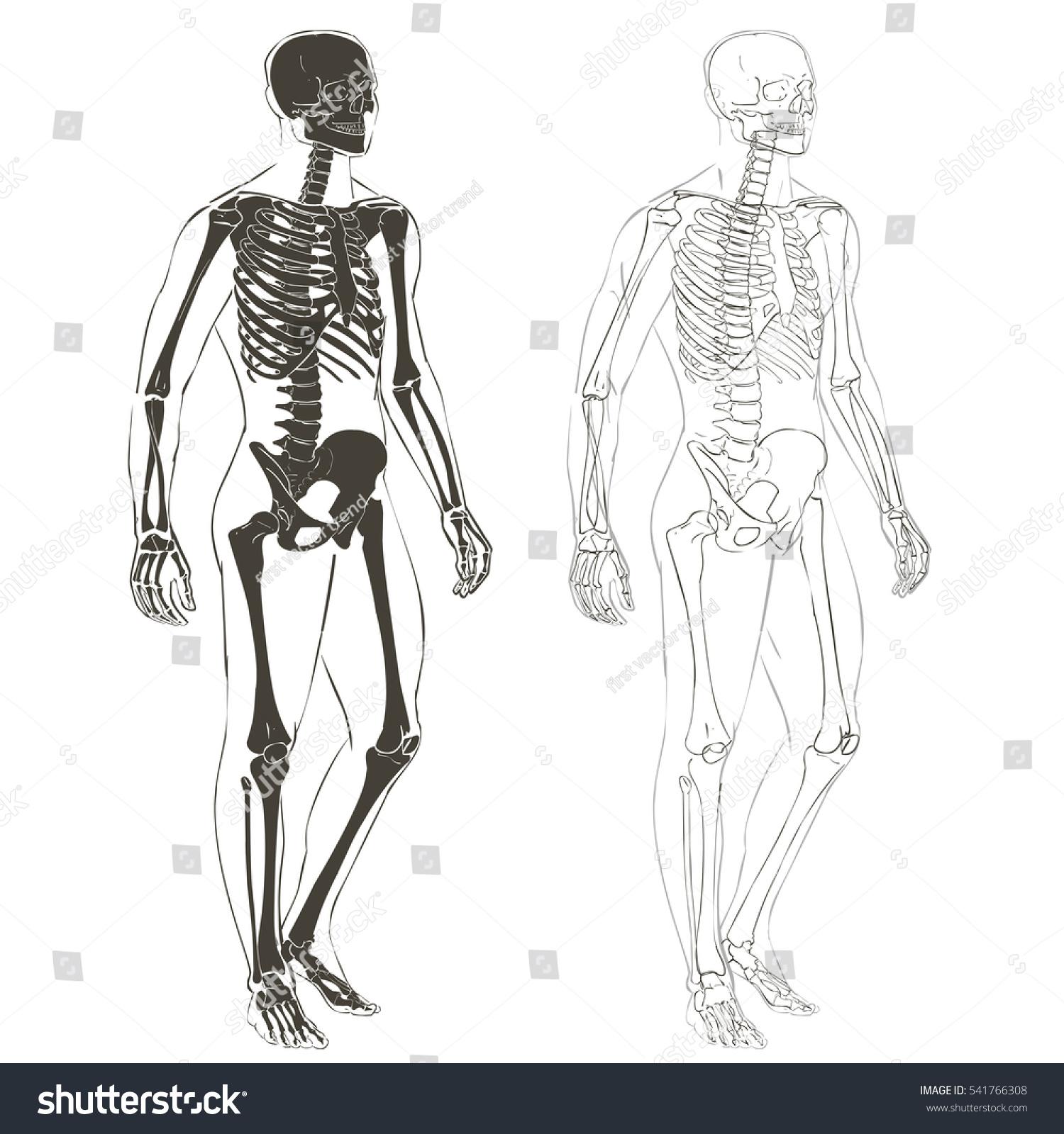 Human Body Parts Skeletal Man Anatomy Stock Vektorgrafik Lizenzfrei