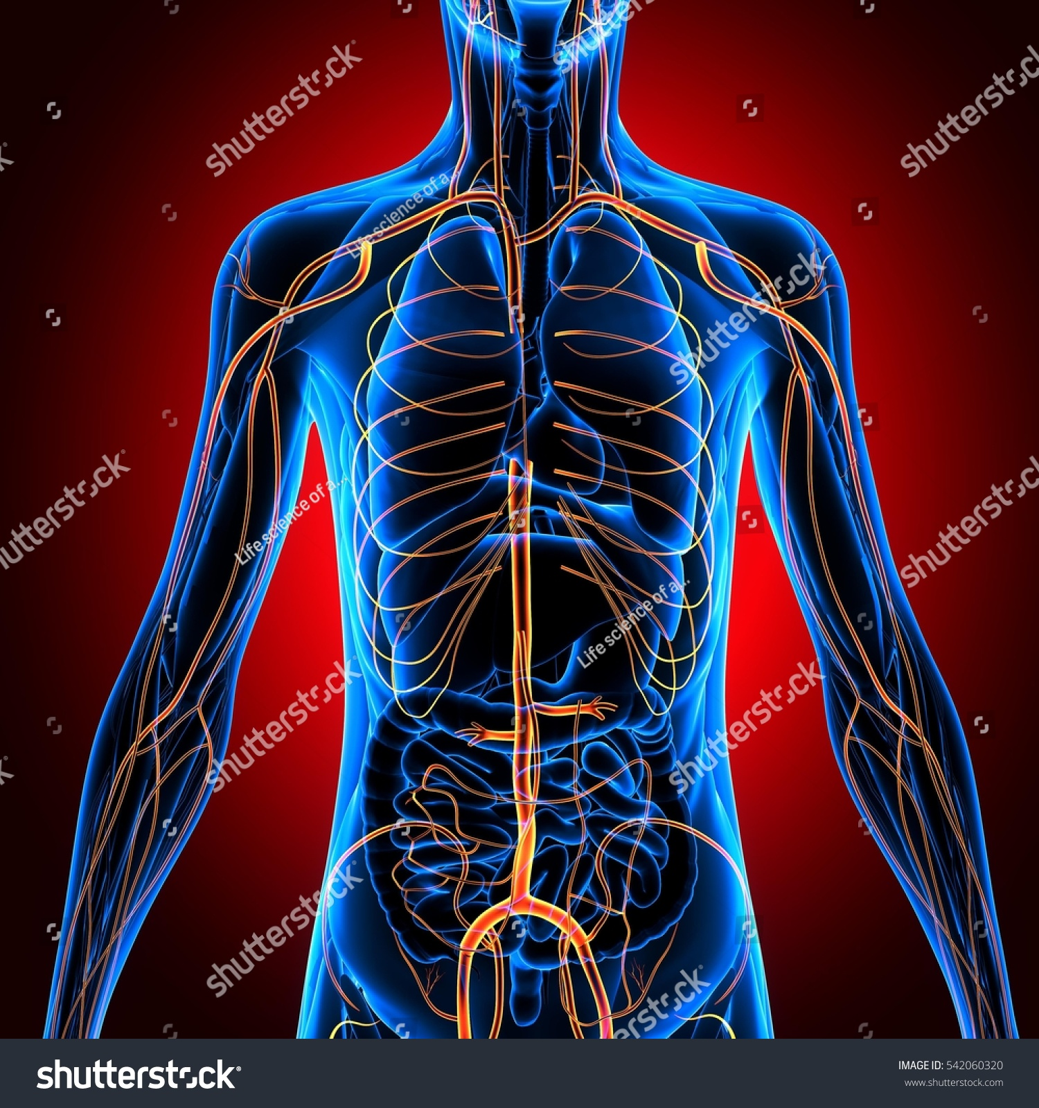 Royalty Free Stock Illustration Of 3 D Illustration Human Body