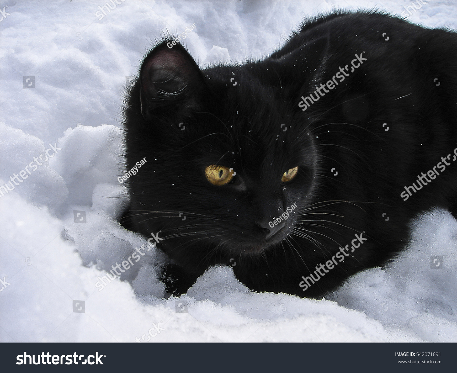 Black Cat Snow Kittens Love Play Stock Shutterstock