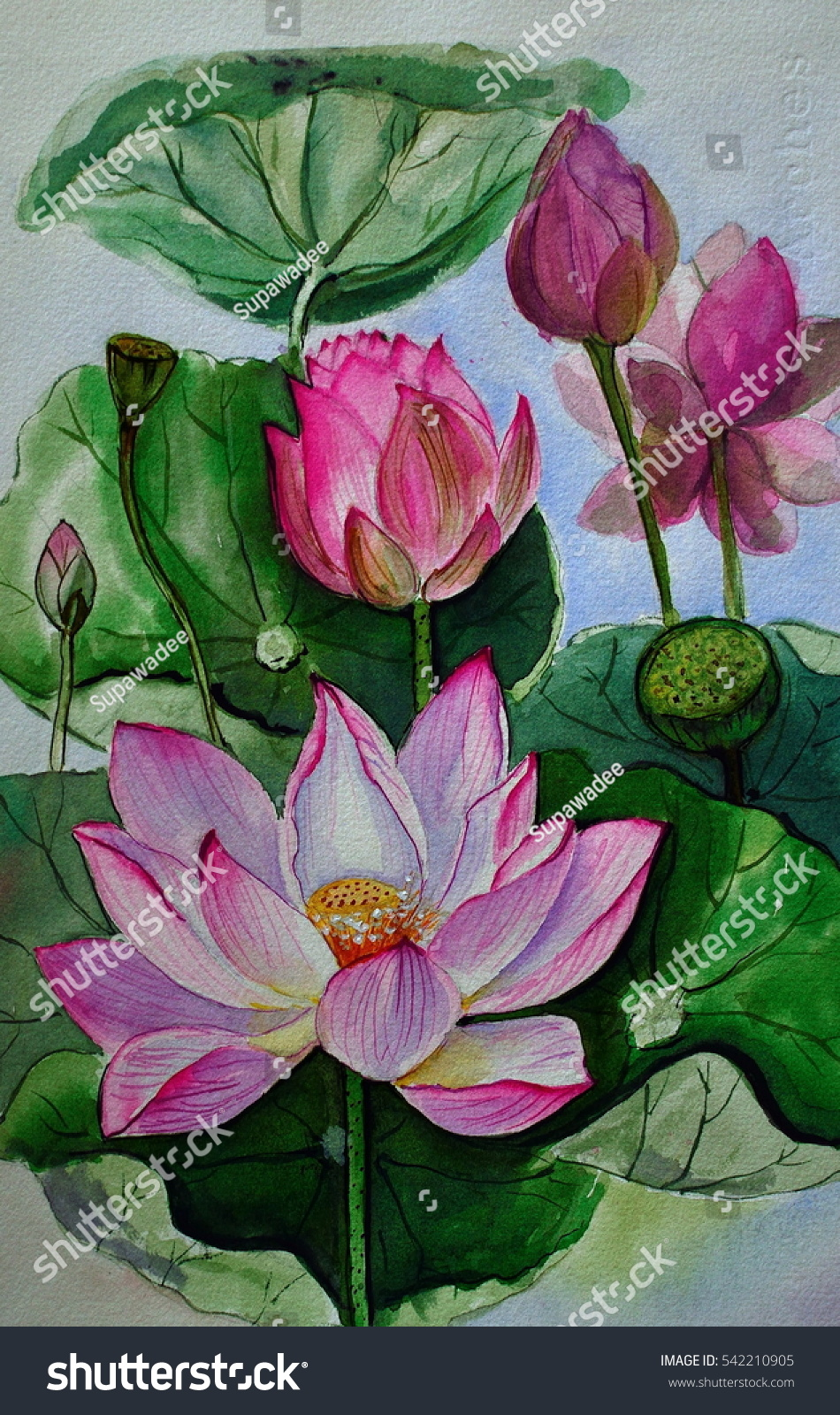 Pink Lotus Flower Hand Drawn Watercolor Stock Illustration 542210905