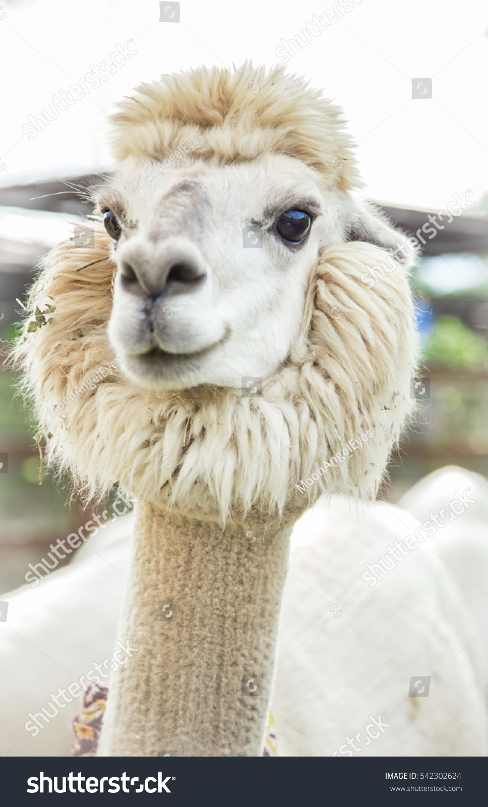 The wonderful alpaca is in the farm on white frame that funny alpaca smile and teeth white llama close-up
