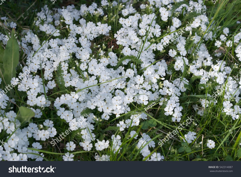 White Flowers Irish Moss Stock Photo Edit Now 542314087 Shutterstock