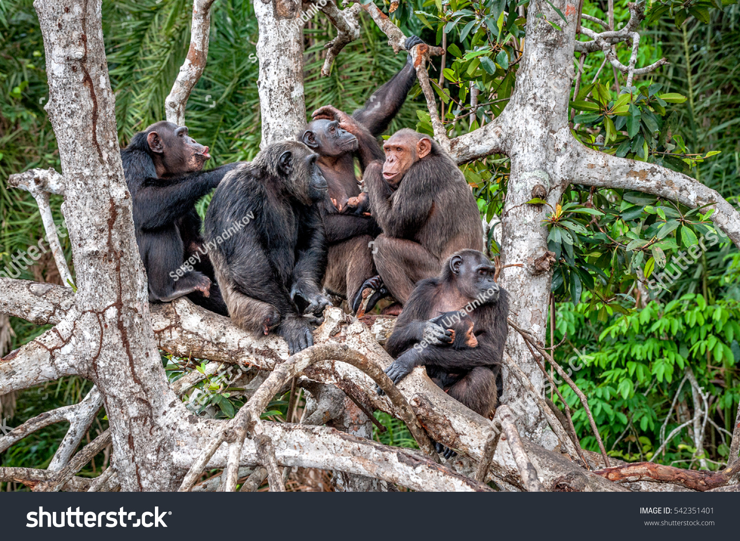 Group of Chimpanzee Pan troglodytes on mangrove branches Mother-chimpanzee sits and holds on hands of the cub Chimpanzees chimps Pan troglodytes troglodytes Congo Africa