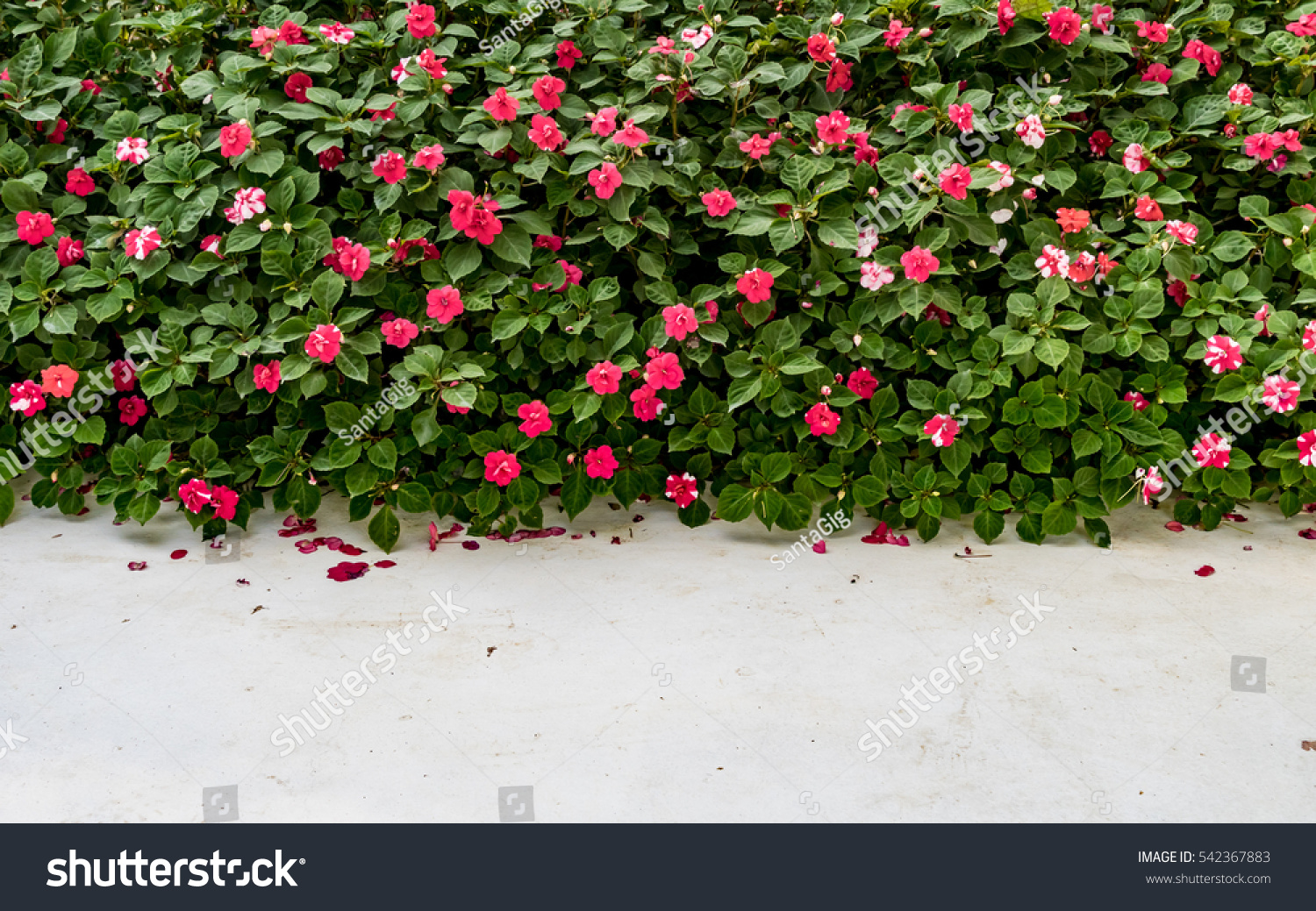 Red Flowers Green Bush Hedge Fence Stock Photo Edit Now 542367883