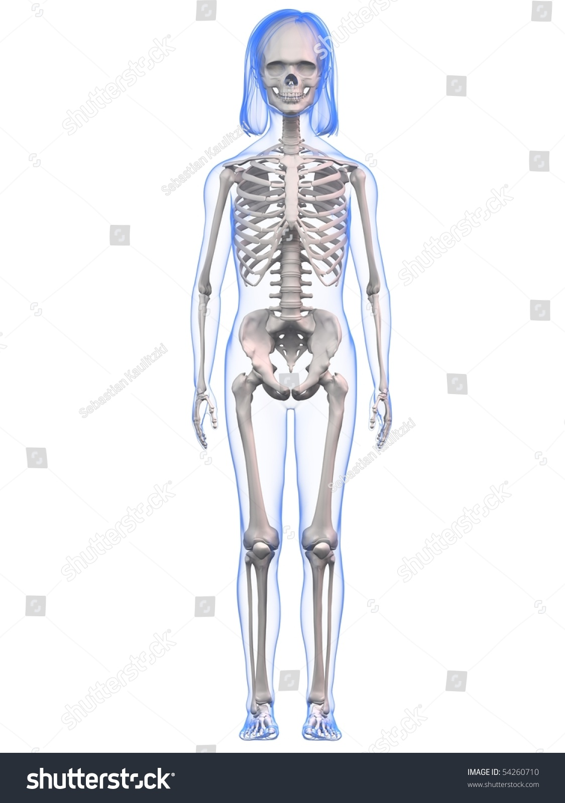 Young Girl Anatomy Skeleton Stock Illustration 54260710 - Shutterstock