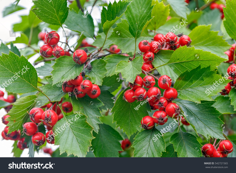Плоды и цветки боярышника фото
