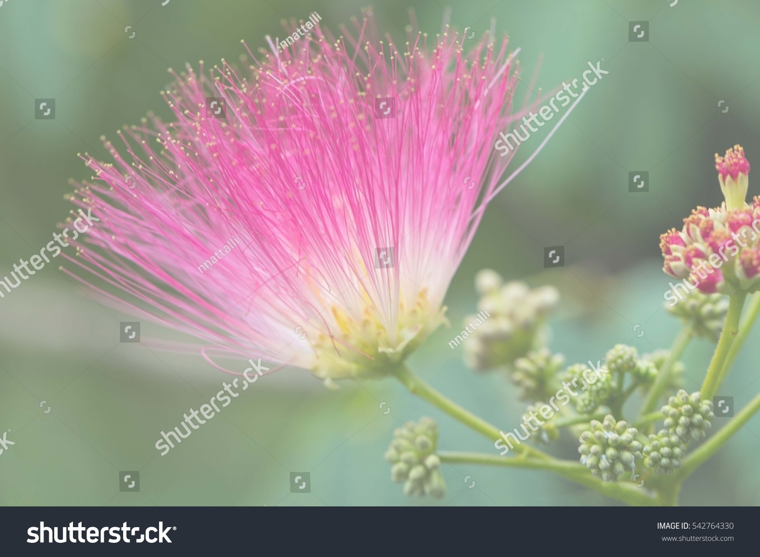 Brignt Pink Fluffy Flowers On Blooming Stock Photo Edit Now