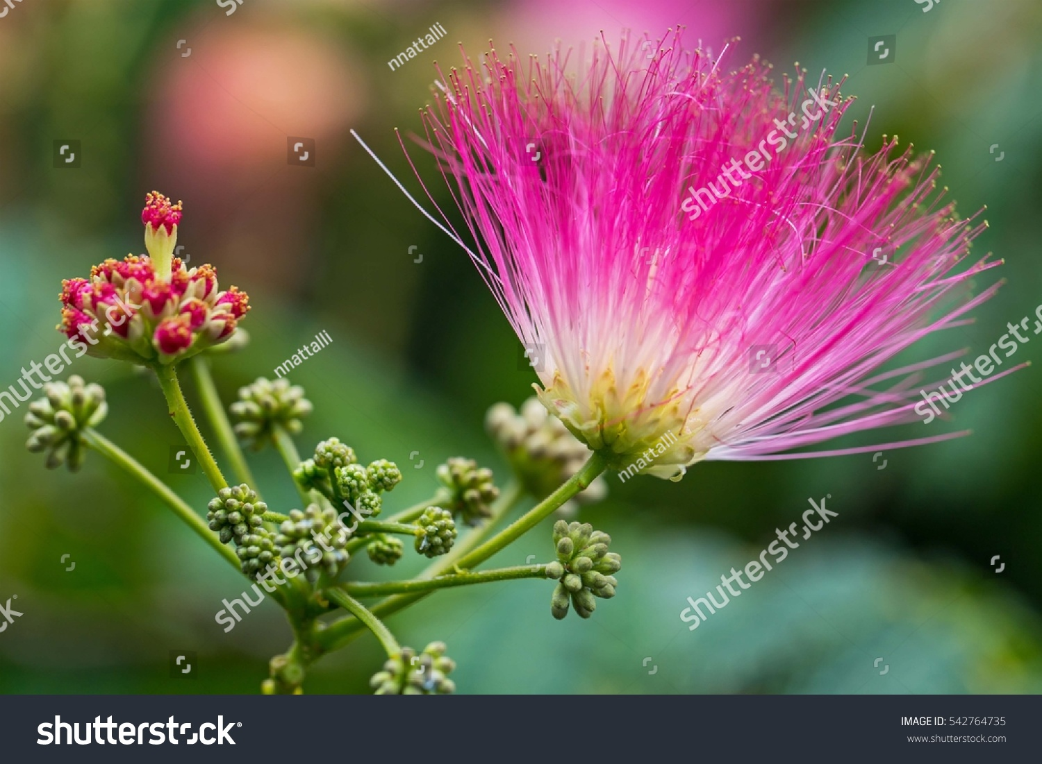 Royalty Free Pink Fluffy Flowers On Blooming Albizia 542764735