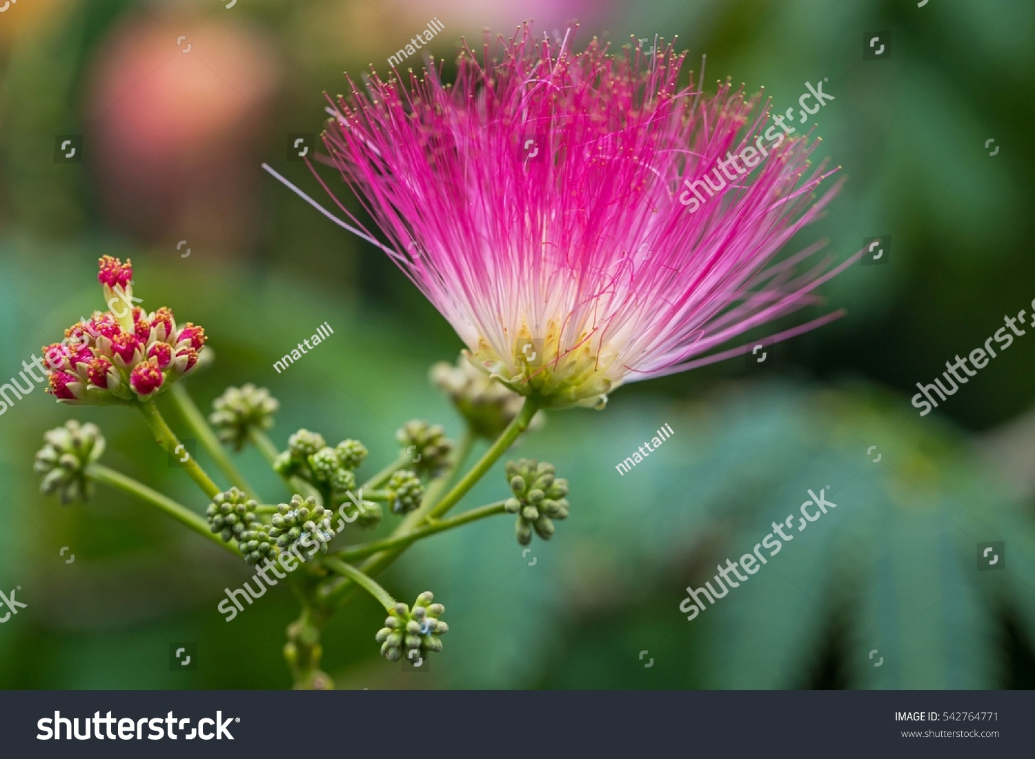 Royalty Free Pink Fluffy Flowers On Blooming Albizia 542764771