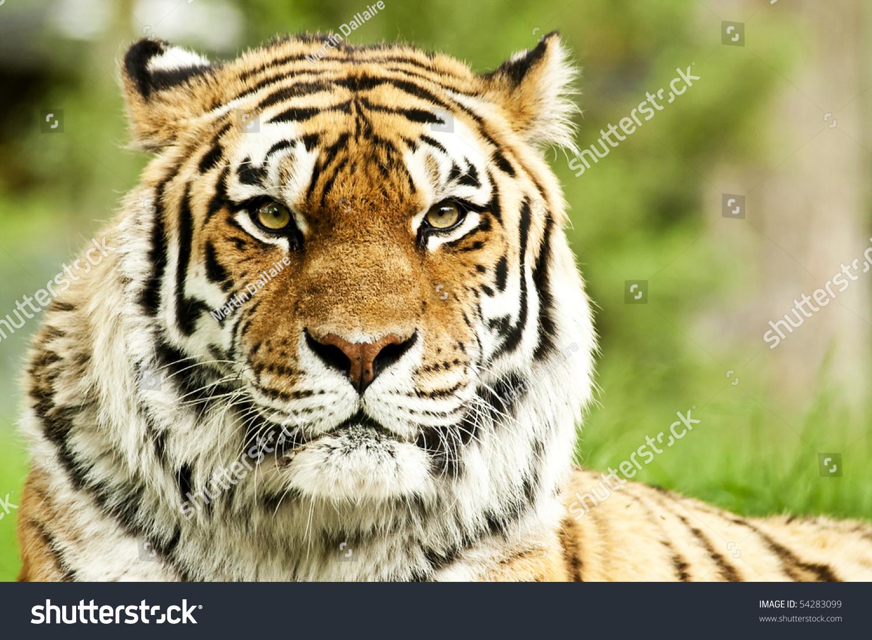 Endangered siberian tiger essay