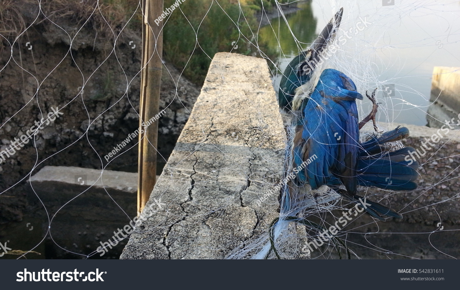 Bird Dead Strangled By Trap Stock Photo (Download Now) 542831611 ...