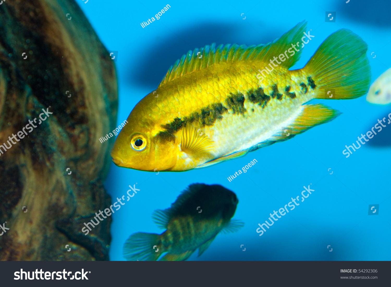 Freshwater aquarium fish cichlids - Cichlid Fish In Freshwater Aquarium Preview Save To A Lightbox