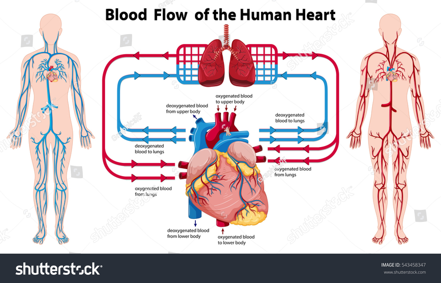Human Heart And Lungs Diagram Wiring Diagram