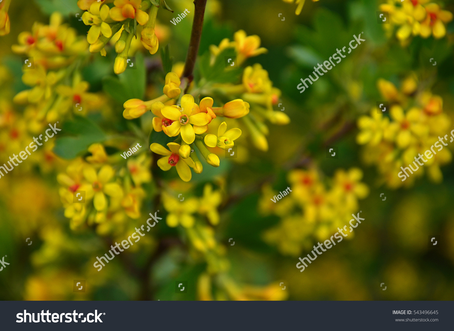 Buffalo Currant Tiny Yellow Flowers Blooming Stock Photo Edit Now