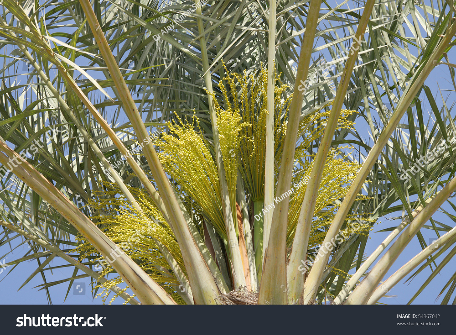 Closure Date Palm Tree Green Female Stock Photo Edit Now 54367042