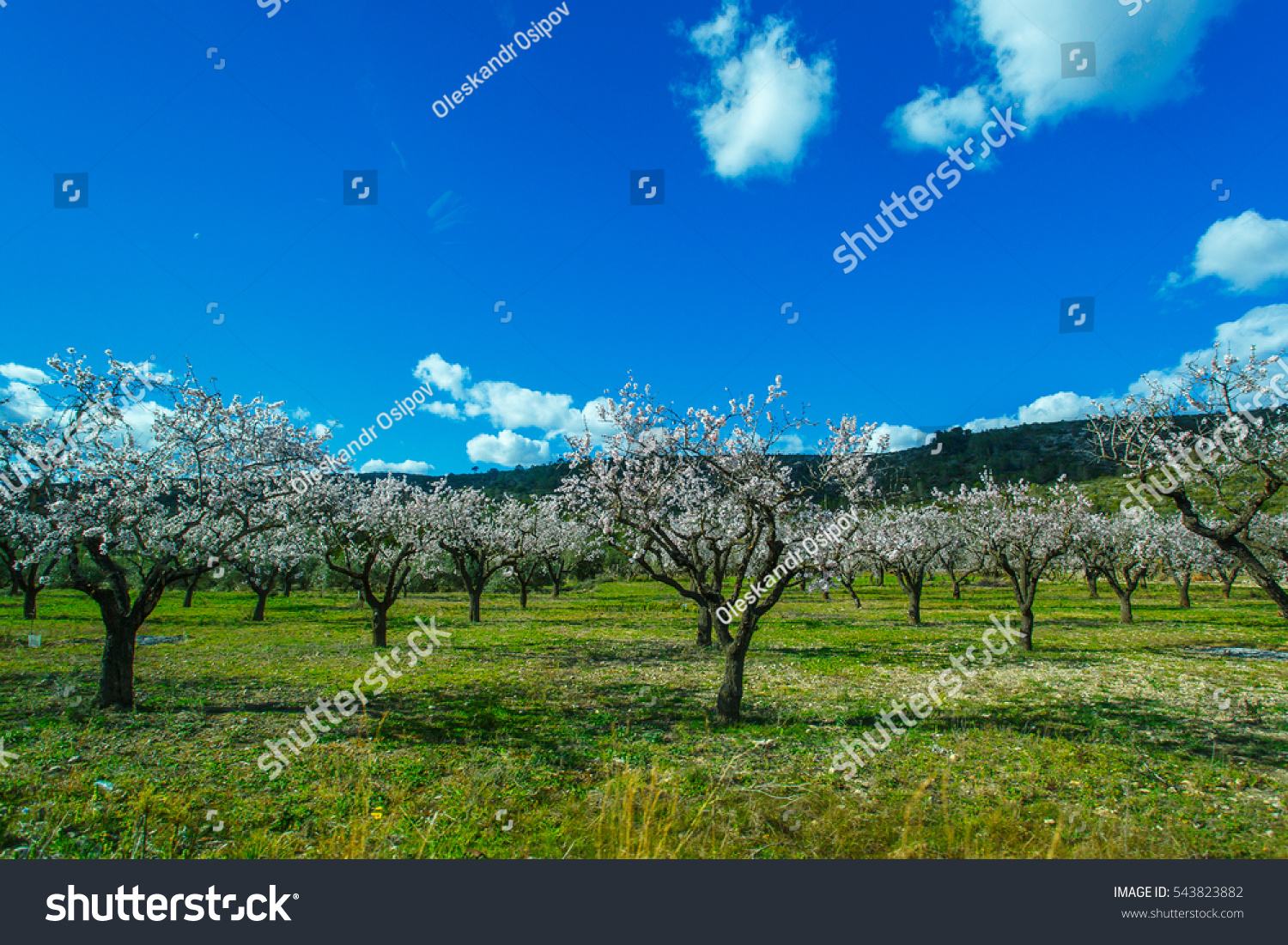 Flowering Trees Spring Almond Orchard Blossom Stock Photo 100