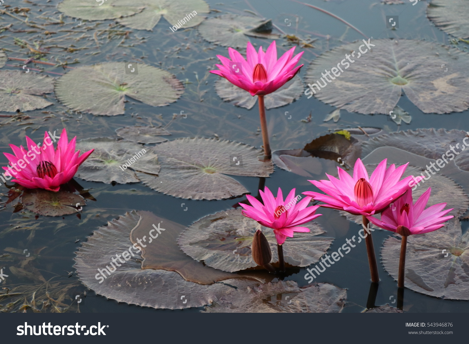 Lotus flowers pink color nature pond stock photo royalty free lotus flowers pink color in the nature pond bright color in morning time izmirmasajfo Images