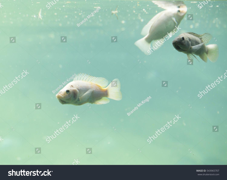 Freshwater fish kauai - Zambezi River Fish In Freshwater