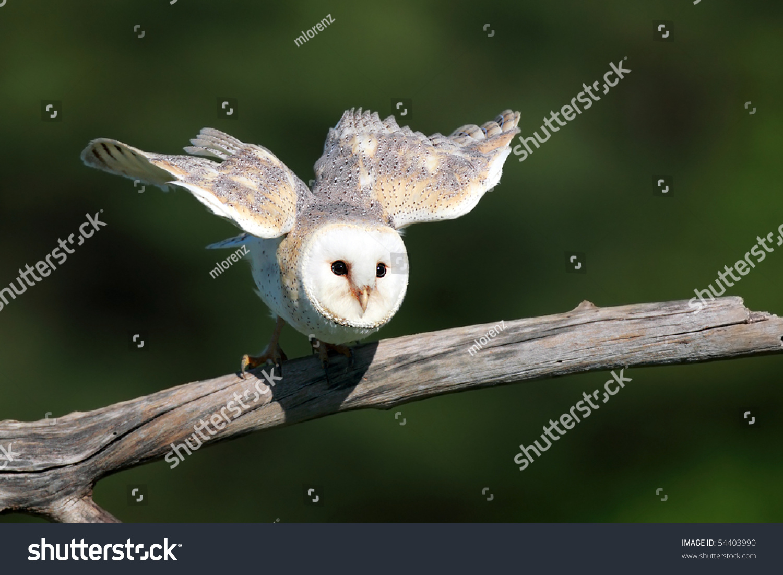 Barn Owl Taking Off Closeup Barn Ow...