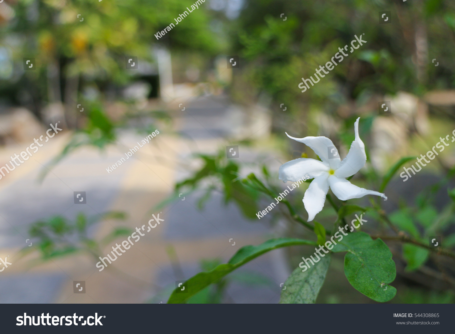 White Star Shaped Flowers Stock Photo Edit Now 544308865