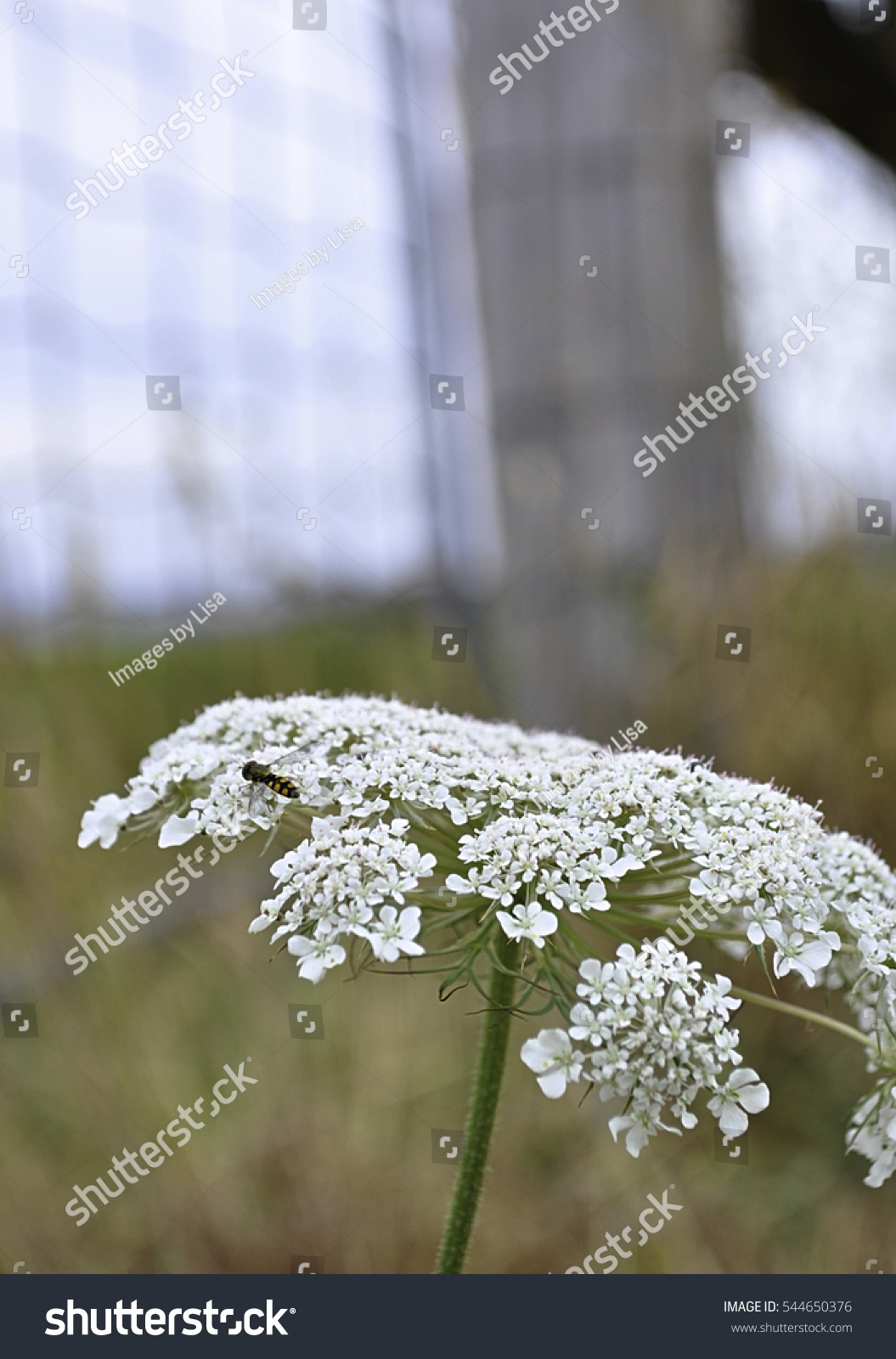 White flowers weeds near gate fence stock photo edit now 544650376 white flowers or weeds near a gate and fence with an insect on it mightylinksfo