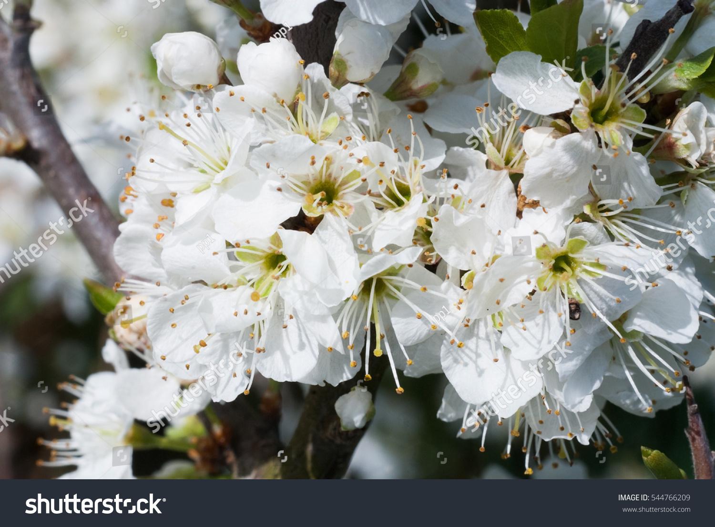 Blackthorn Prunus Spinosa Sloe Plant Shrub White Flower Bloom