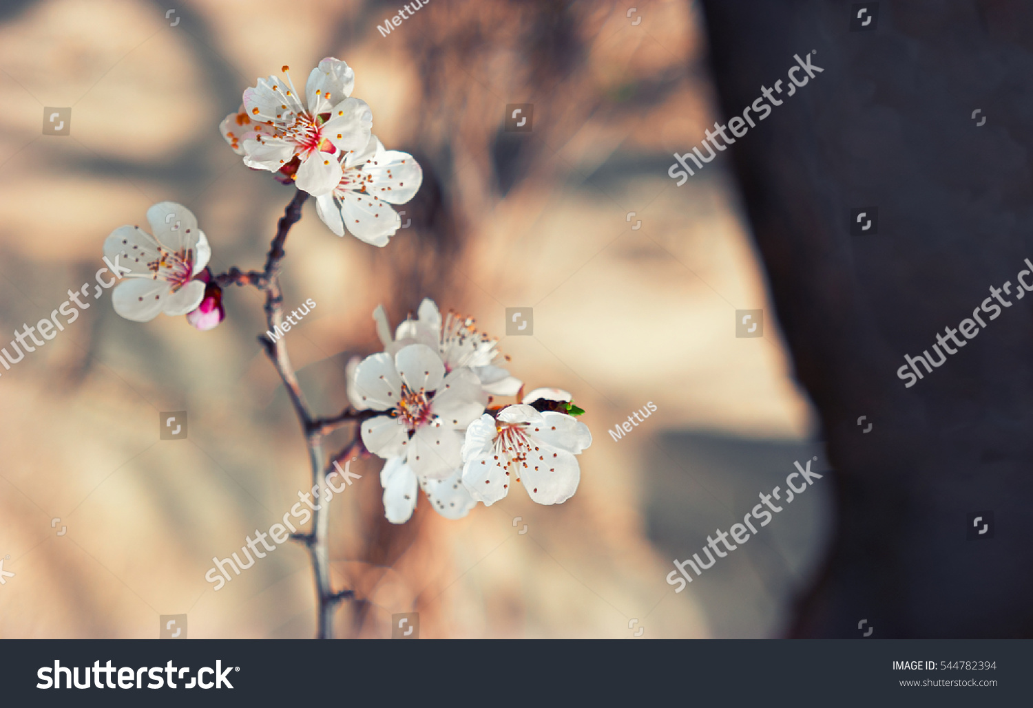 stock-photo-apricot-flowers-on-a-branch-
