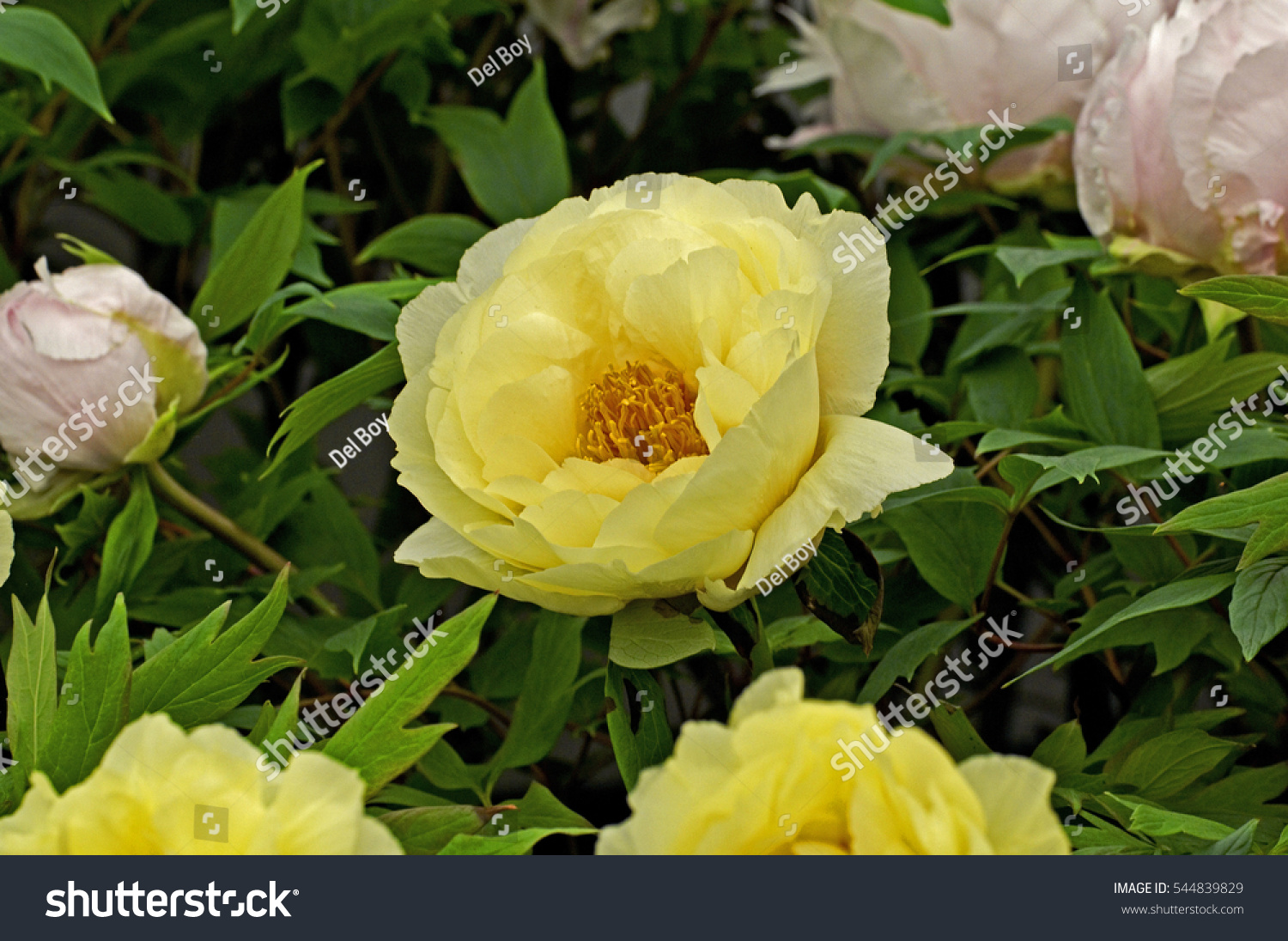 Tree Peony High Noon In Flower Ez Canvas