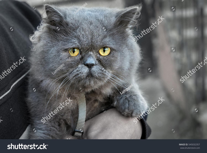 British Fold Cat Hands Host Looks Stock Shutterstock