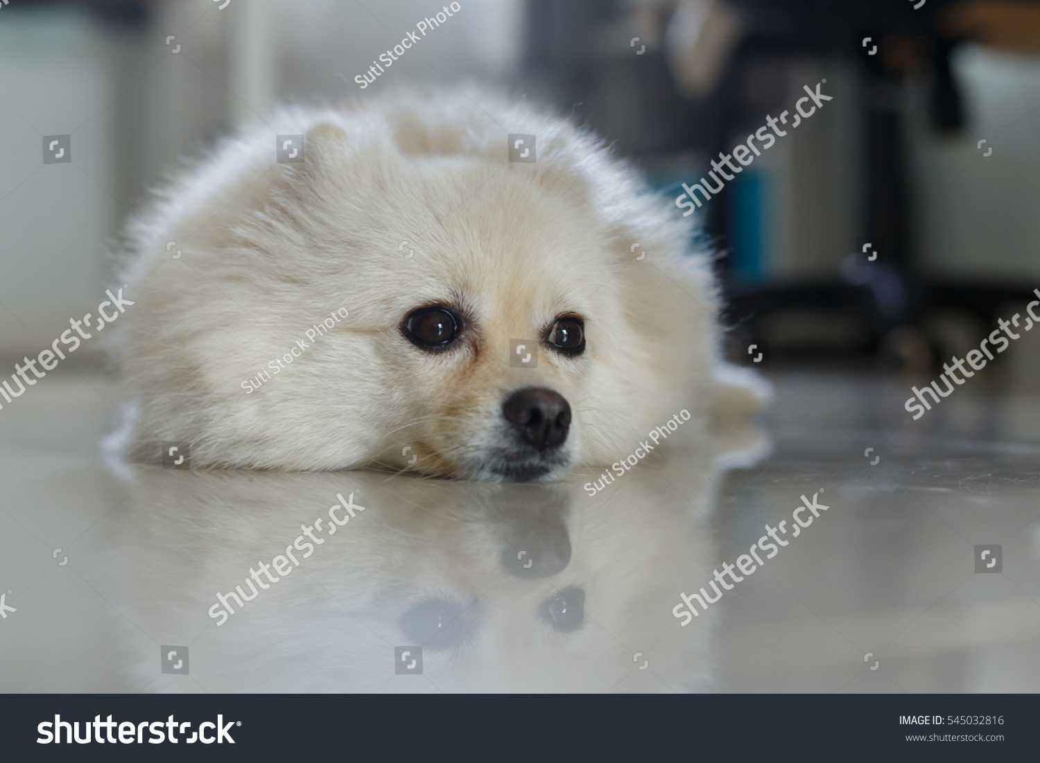 Fluffy White Pomeranian Cute Dog Small Stock Photo Edit Now