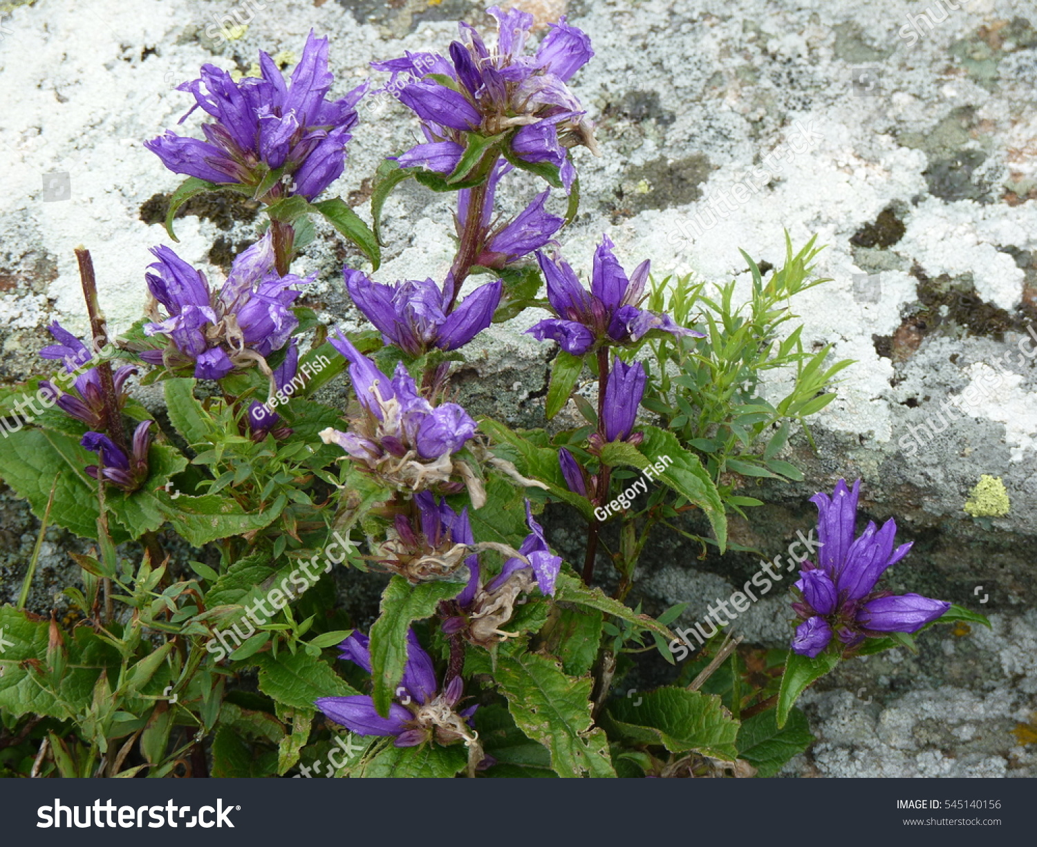 Beautiful Blue Mountain Flowers On The Rocks Ez Canvas