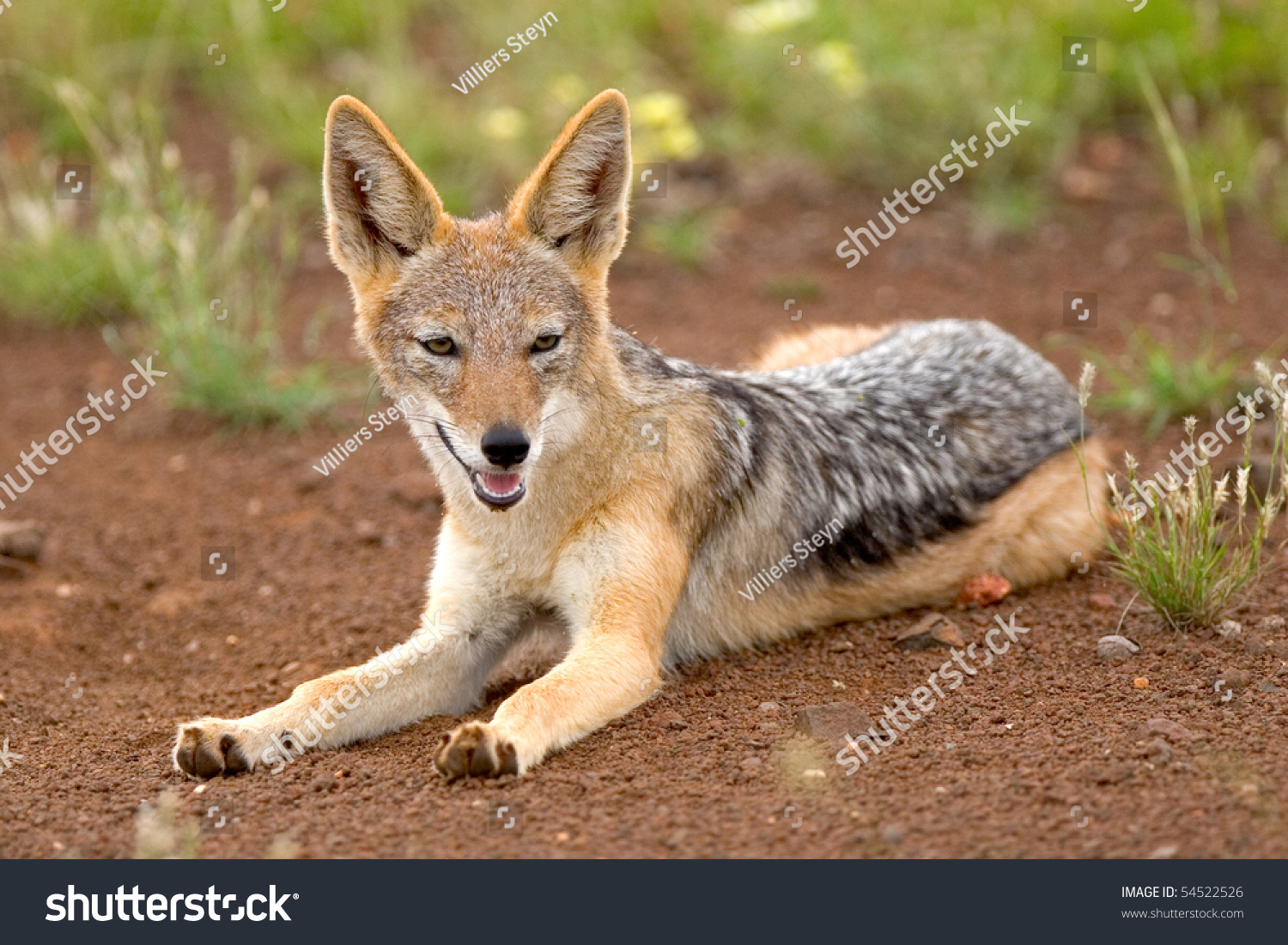 blackbacked jackal lying on ground ears stock photo