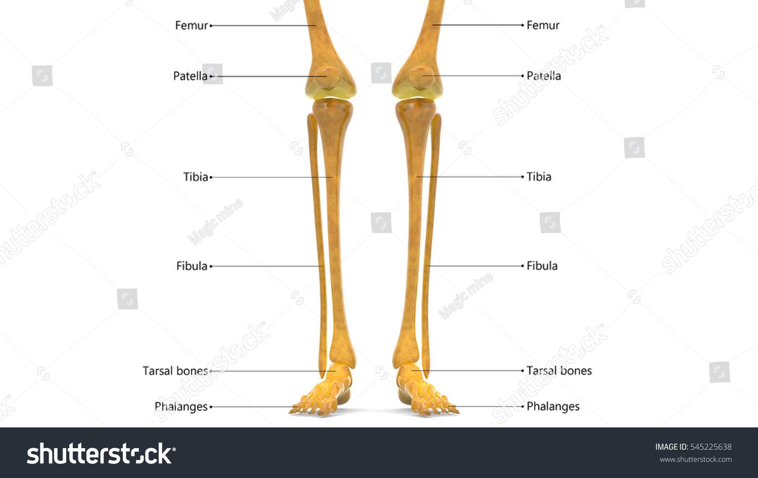 Human Skeleton Leg Joints Anatomy Femur Stock Illustration Royalty