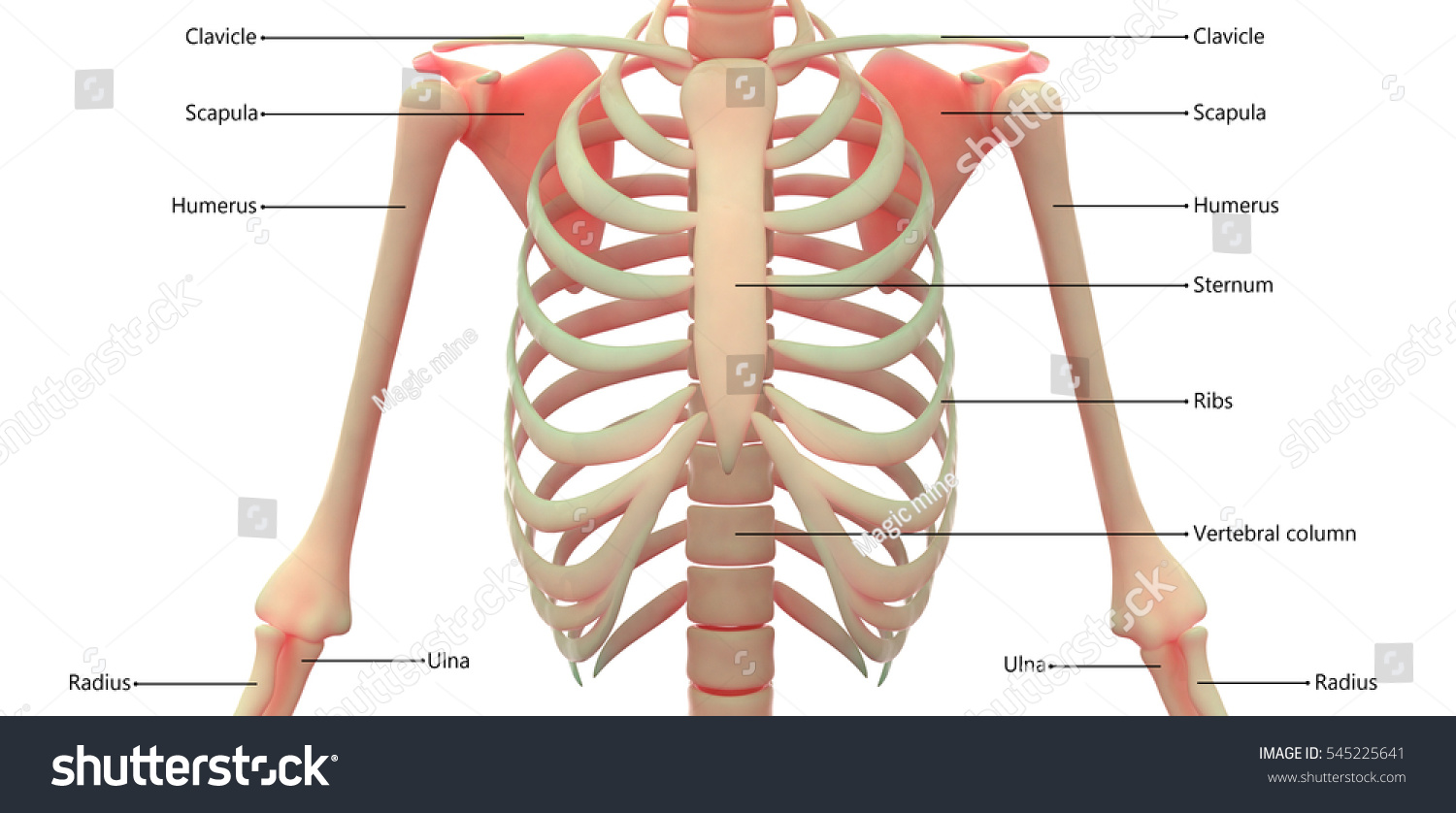 Royalty Free Stock Illustration of Human Skeleton Anatomy Ribs 3 D ...