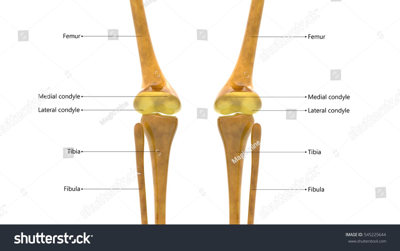 Ziemlich Posterior Anatomy Of The Knee Ideen - Menschliche Anatomie ...