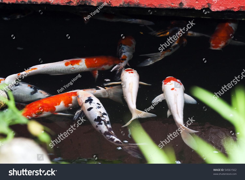 Japanese koi fish swimming in the pond stock photo for Koi fish swimming