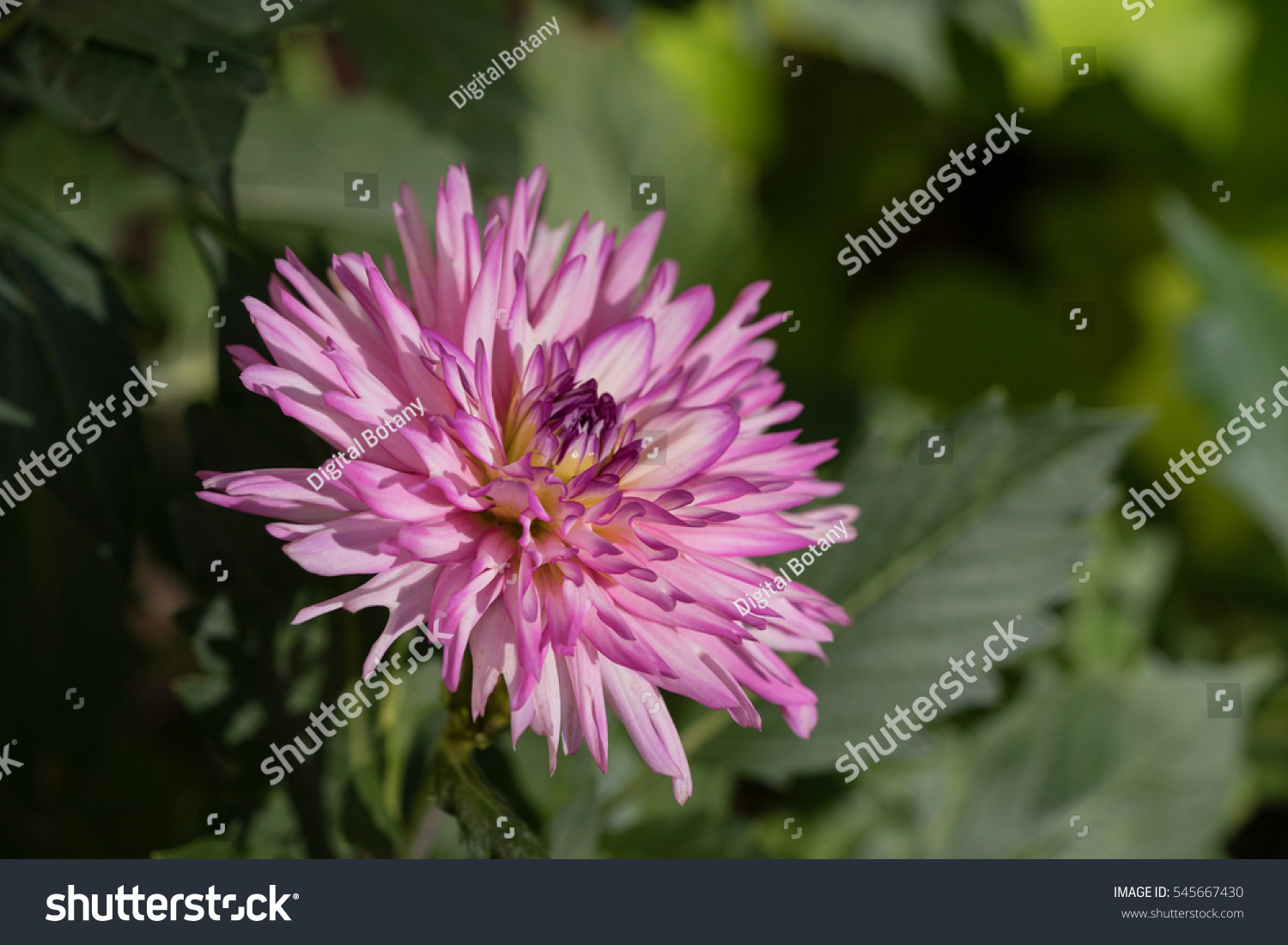 Closeup of pink dahlia flower among green leaves in the sunlight id 545667430 izmirmasajfo