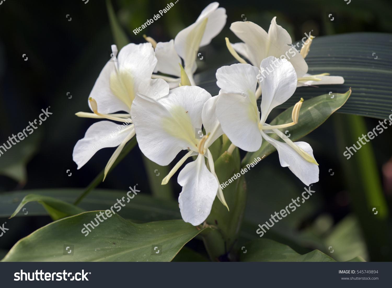 White Ginger Lily Hedychium Coronarium Flower Of The Zingiberaceae