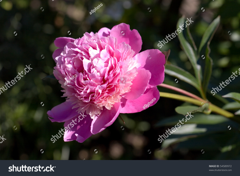 A Rose Perennial Flower Shrub Vine Of Genus Rosa Rosaceae Ez Canvas